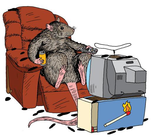 Hollis_rat