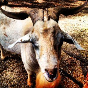 serenbe.goat-001