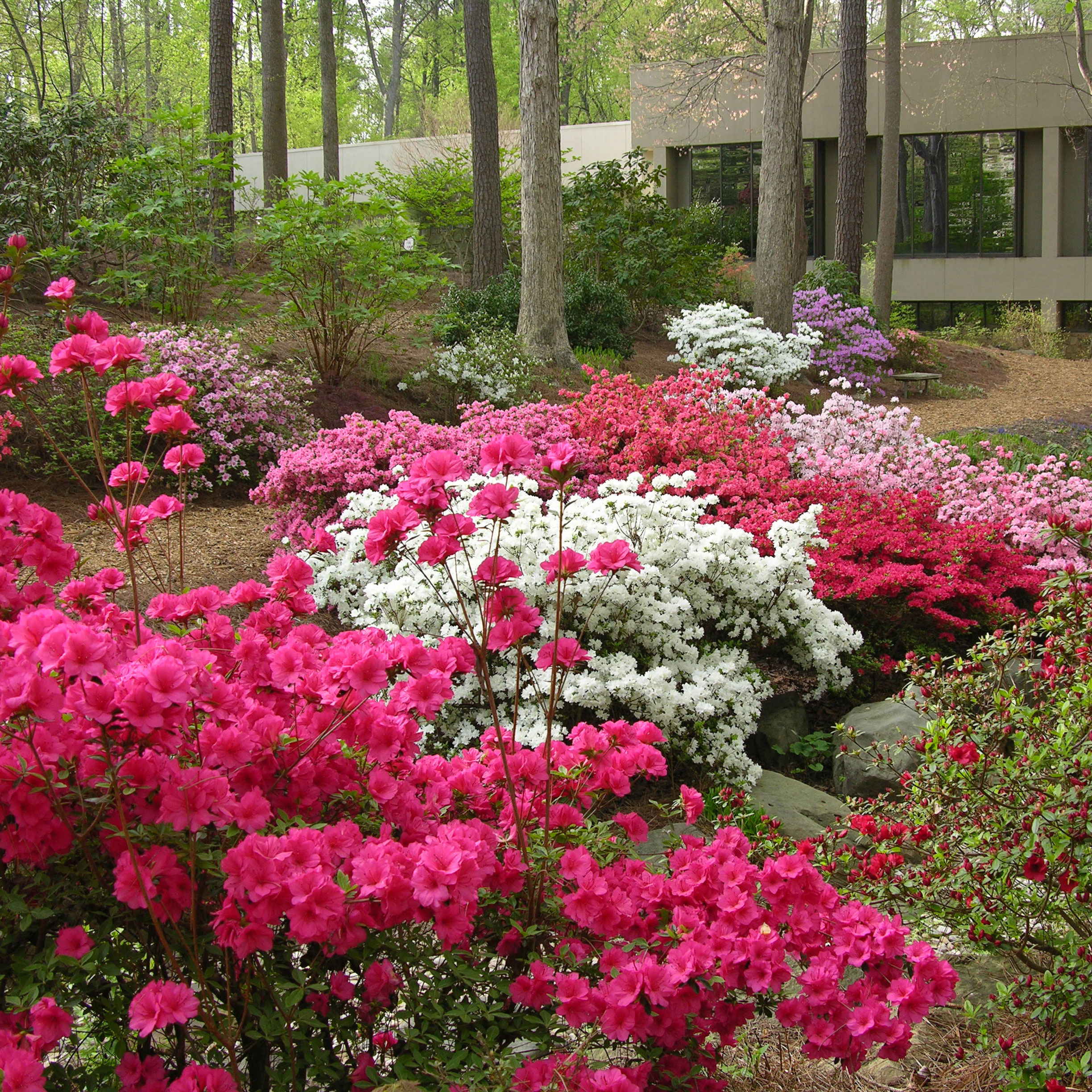 Garden notebook tending azaleas atlanta magazine for Home garden design atlanta