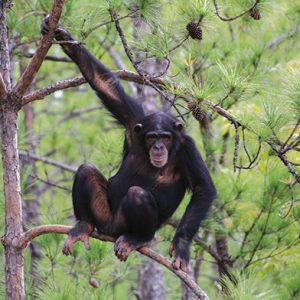 Photograph courtesy of Chimp Haven