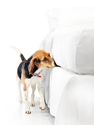 Bedbugs are no match for the beagles of Red Coat Services