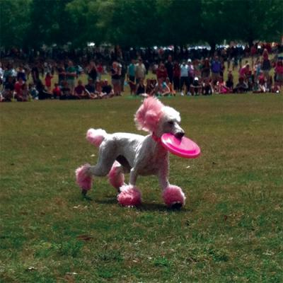 A poodle at the Atlanta Dogwood Festival