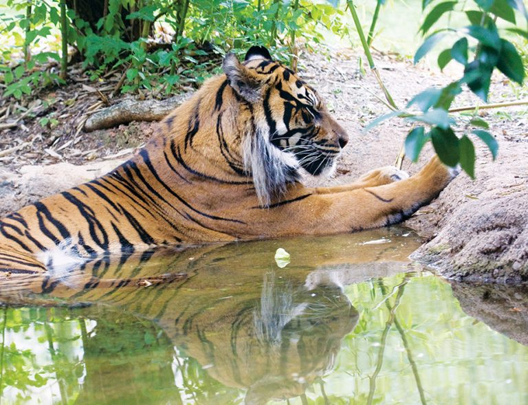 """Can UGA scientists save endangered big cats with a """"frozen zoo""""?"""