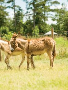 The barnyard is home to many animals, including a pair of donkeys.