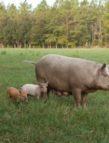 Piglets, and their rotund parents, reside in the muddiest area of the farm.
