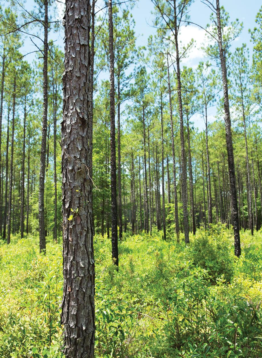 Pine Forest Telfair County Georgia