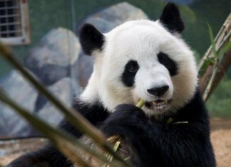 Lun Lun Zoo Atlatna giant panda expecting twins