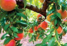 Peaches at Pearson Farm