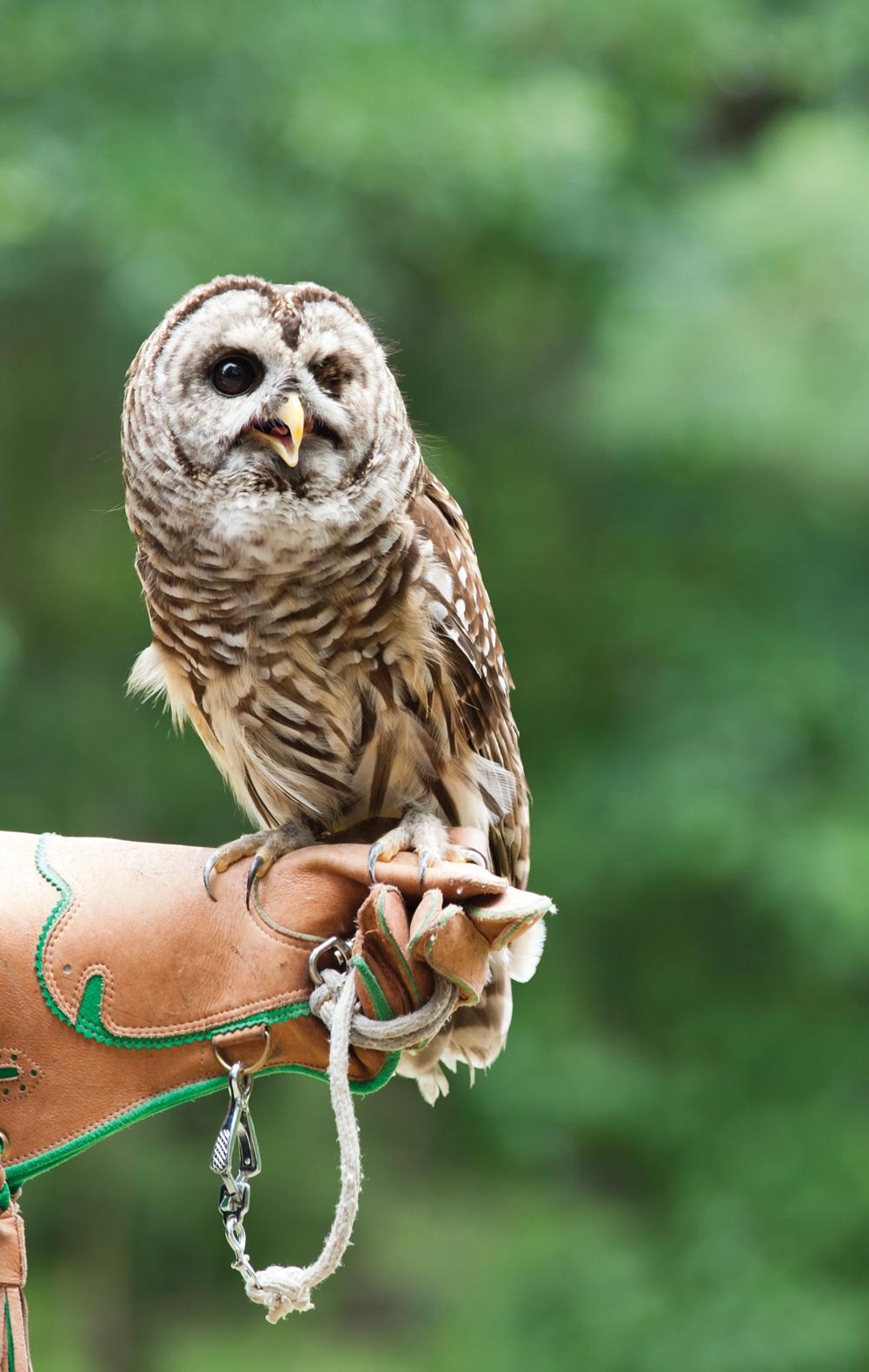 Chattahoochee Owl