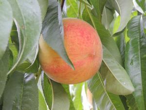 Callaham Orchards peach