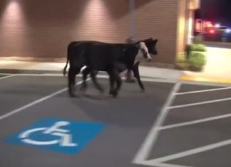 Cows I-285 Atlanta interstate accident
